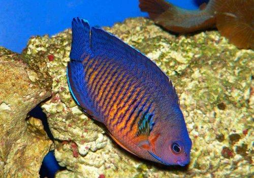 Центропиг биспинозус (Centropyge bispinosus)