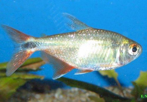 Тетрагоноптерус (Hemigrammus caudovittatus)